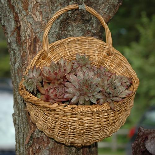Hanging Flower Baskets Michaels : Sempervivum the lovely plants