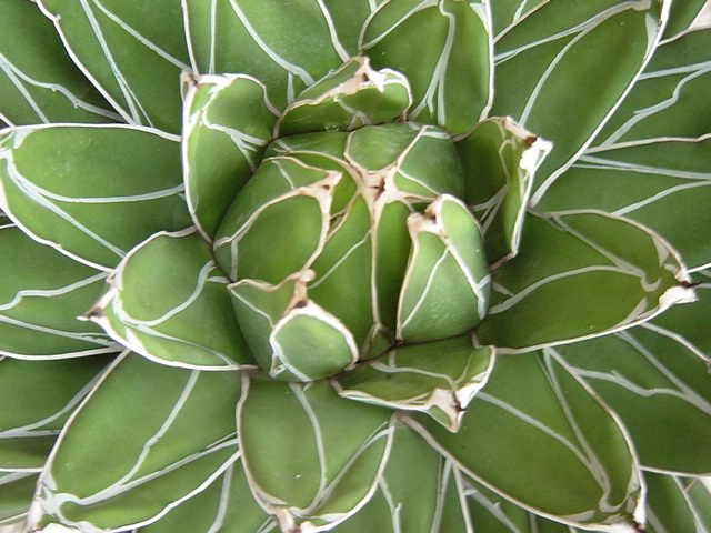 agave-victoria-close-up
