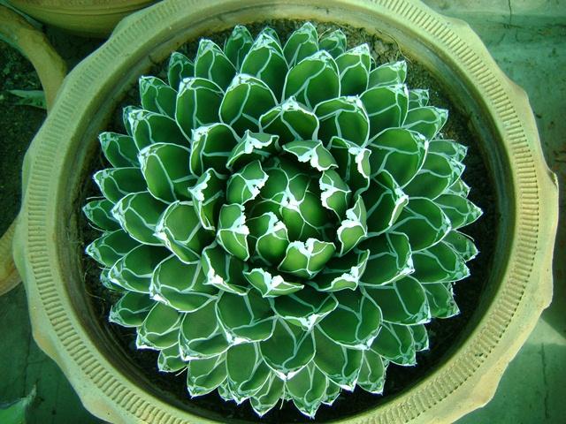 agave-victoria-regina-plant