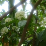 Ixora – flowering bush for gardens and hedges