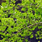 Ginkgo Biloba - The Ultimate Survivor