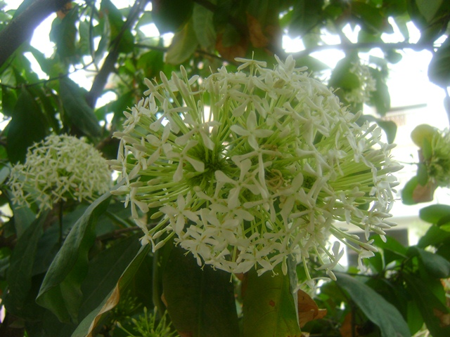 ixora flower bunch