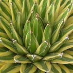 Agave Victoria Reginae variegated, Kizan