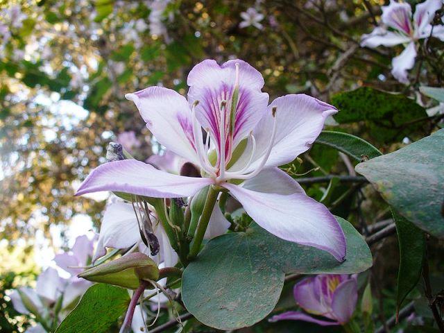 flower of bauhinia