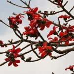 Bombax, Red Silk Cotton Tree
