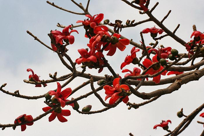 bombax ceiba flowers