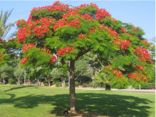 delonix regia as lawn tree