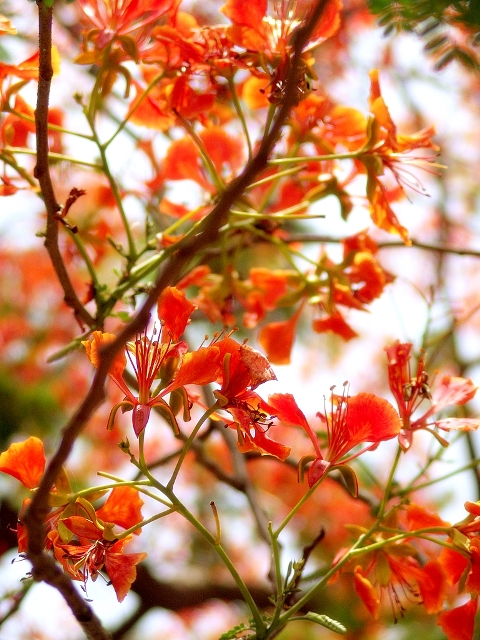 delonix regia red flower