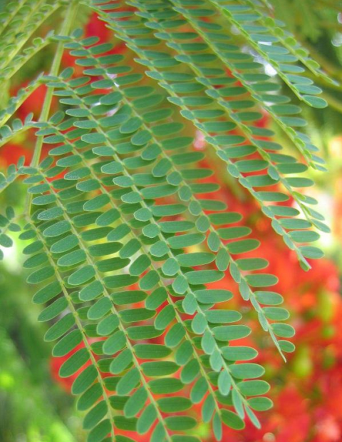 leaves of delonix regia
