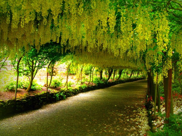 lovely yellow flowers of amaltas