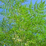 Moringa Oleifera, the Miracle Tree