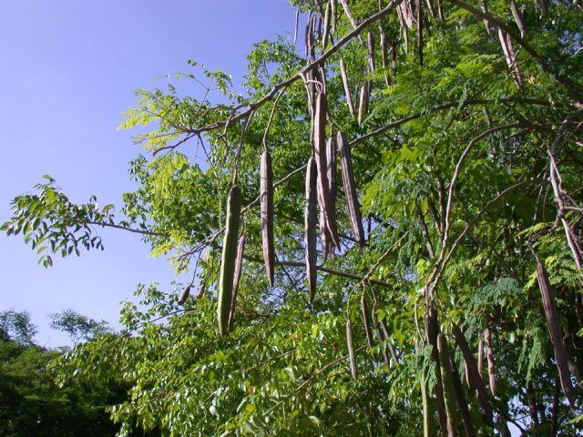 moringa oleifera seed pods