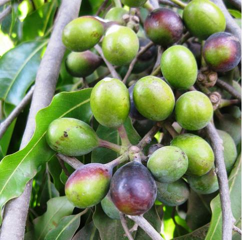 polyalthia longifolia fruits
