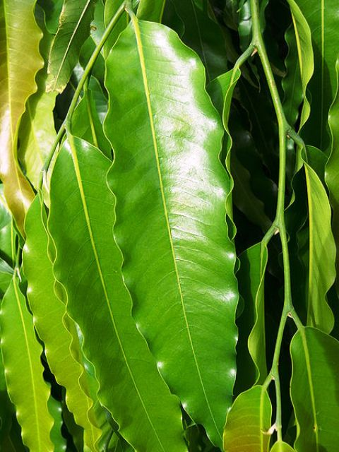polyalthia longifolia leaves