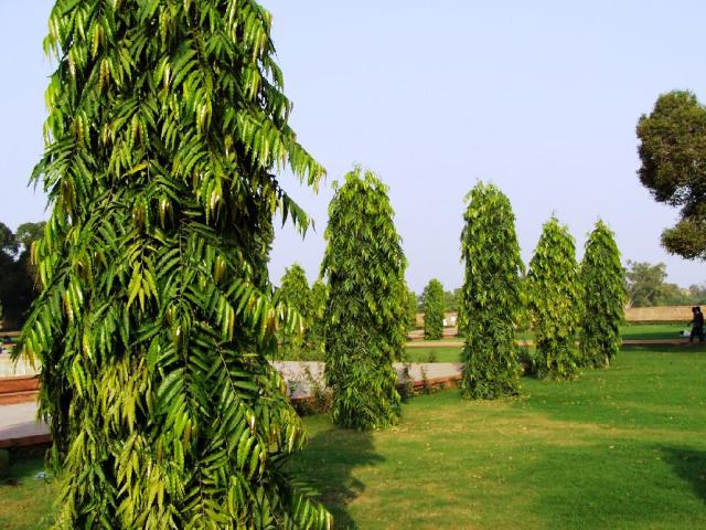 polyalthia longifolia trees