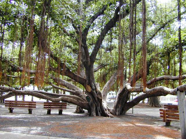aerial roots of banyan tree