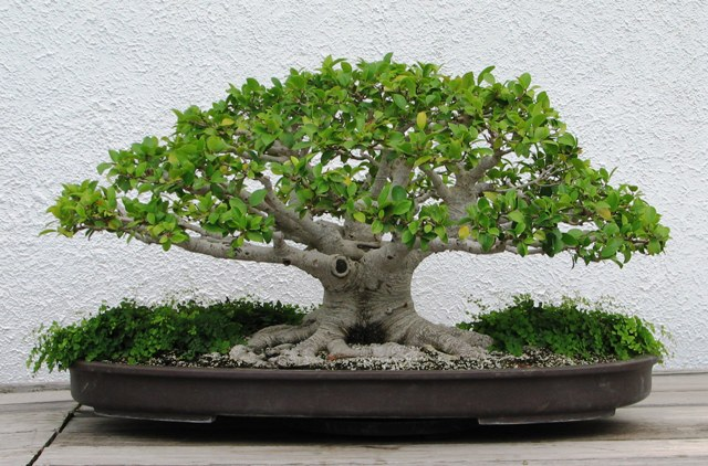 bonsai form of bonsai tree