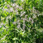Melia Azedarach, the Persian Lilac