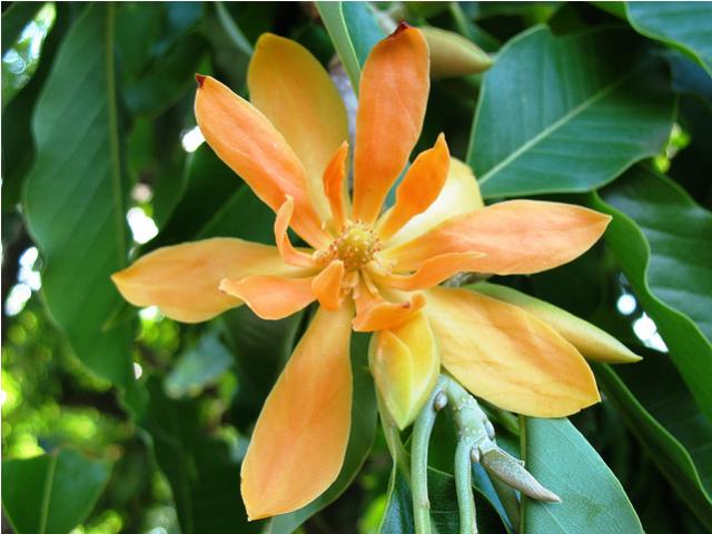 orange flower of michelia champaca