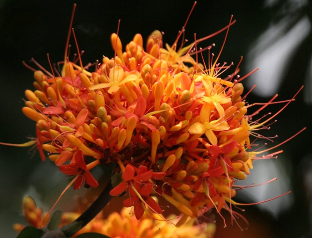 saraca indica, ashoka flowers