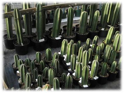 coromandel cacti auction plants