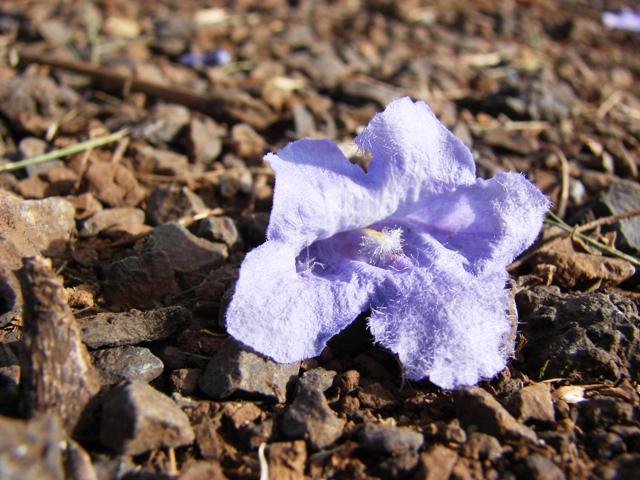 flower of jacaranda