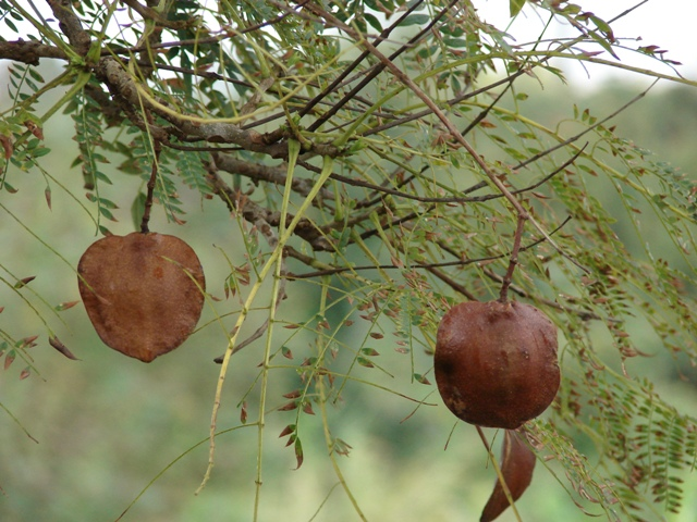 seeds of jacaranda