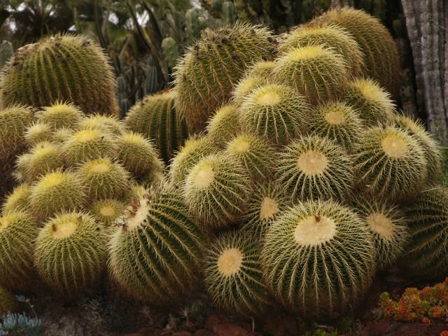 golden barrel cactus unusual plant