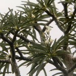 Pachypodium lamerei: The Madagascar Palm