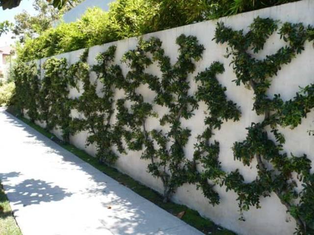 arbusto espalier incrível