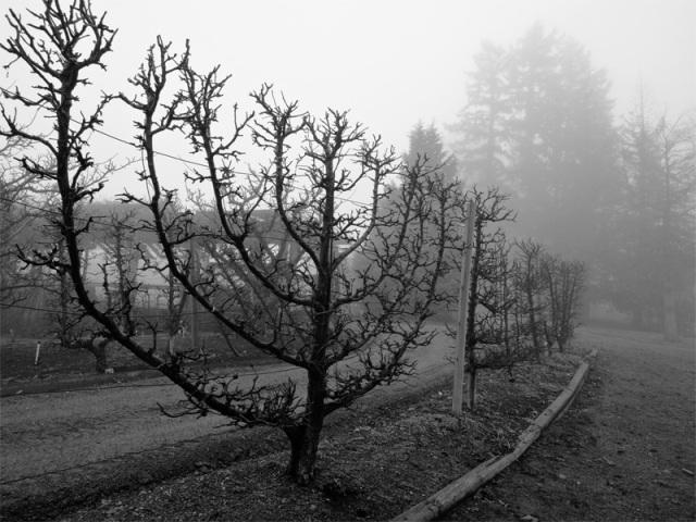 macieiras em espaldeira