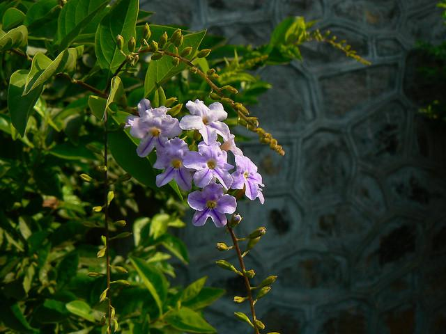 duranta flowering shrub