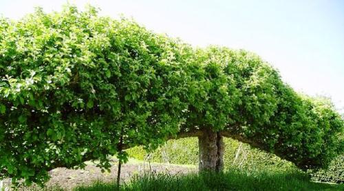 Espaliler Fruit Tree