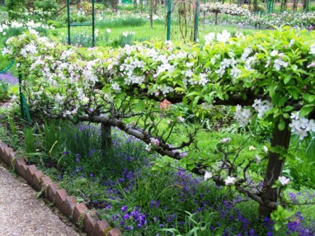 Flowering Espalier Tree