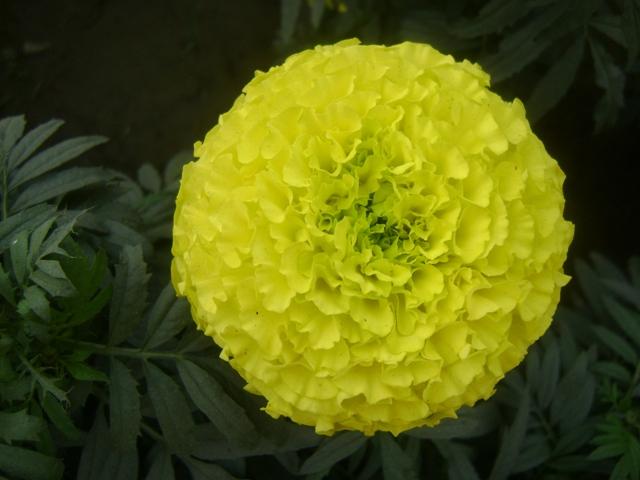 marigold flower blooming