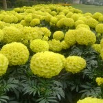 Companion Plants for Vegetable Gardens: Tagetes (Marigold)