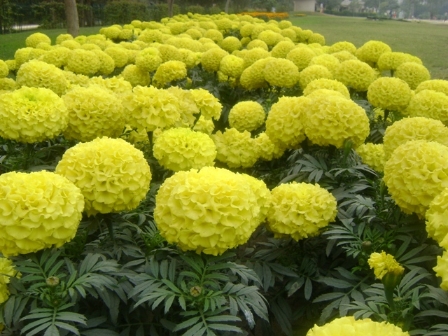 Companion Plants For Vegetable Gardens Tagetes Marigold