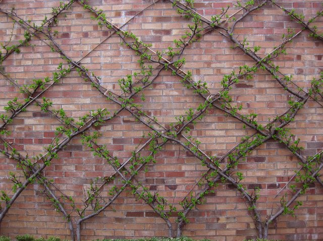 beautiful espalier against brick wall
