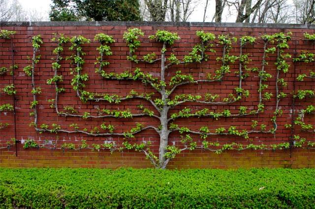 árvore espalier plana