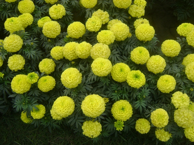 yellow flowers of marigold