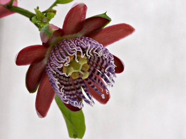 passiflora alata - passion flower