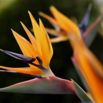 Lovely Flowers of Strelitzia: The Bird of Paradise