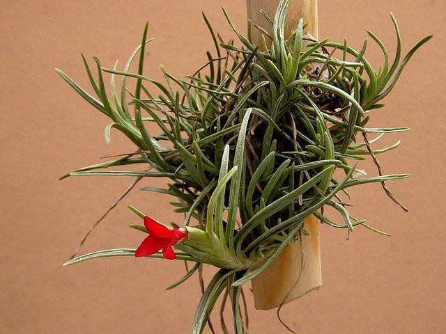 air plant flower