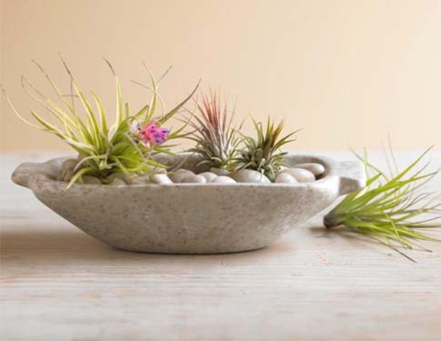 tillandsia - the air plants