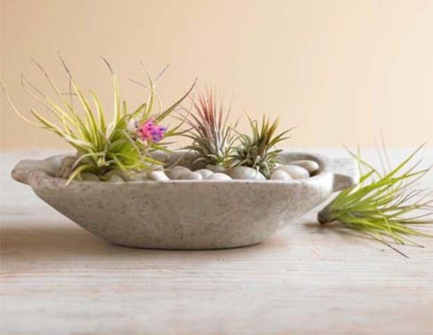 tillandsia - the air plants