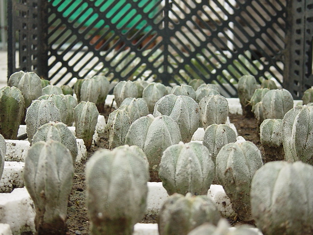 astrophytum seedlings