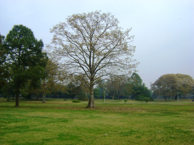 bombax ceiba tree