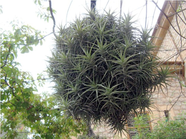 cluster of air plant