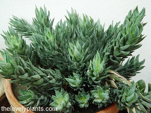 Haworthia Clump The Lovely Plants