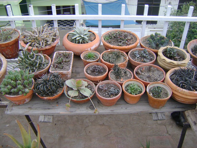 succulent plants in containers